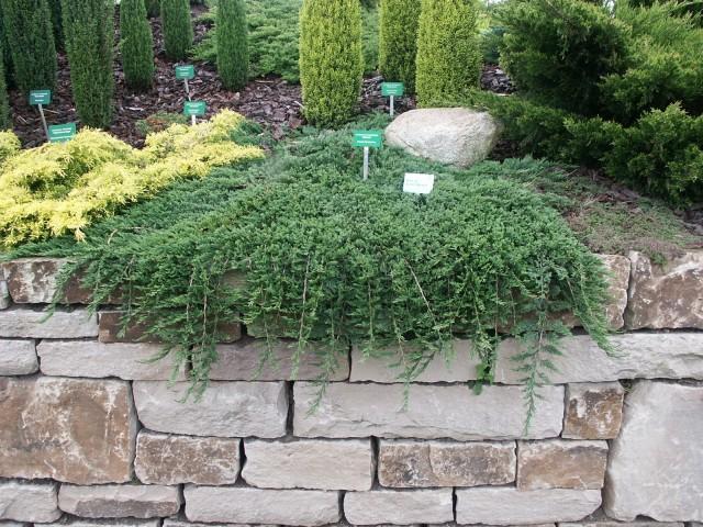Juniperus horisontalis Glauca