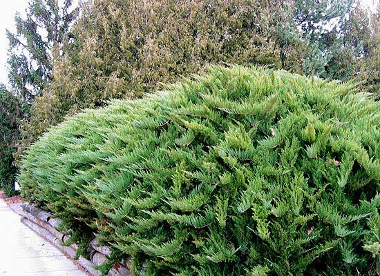 Juniperus sabina, Стелеща хвойна