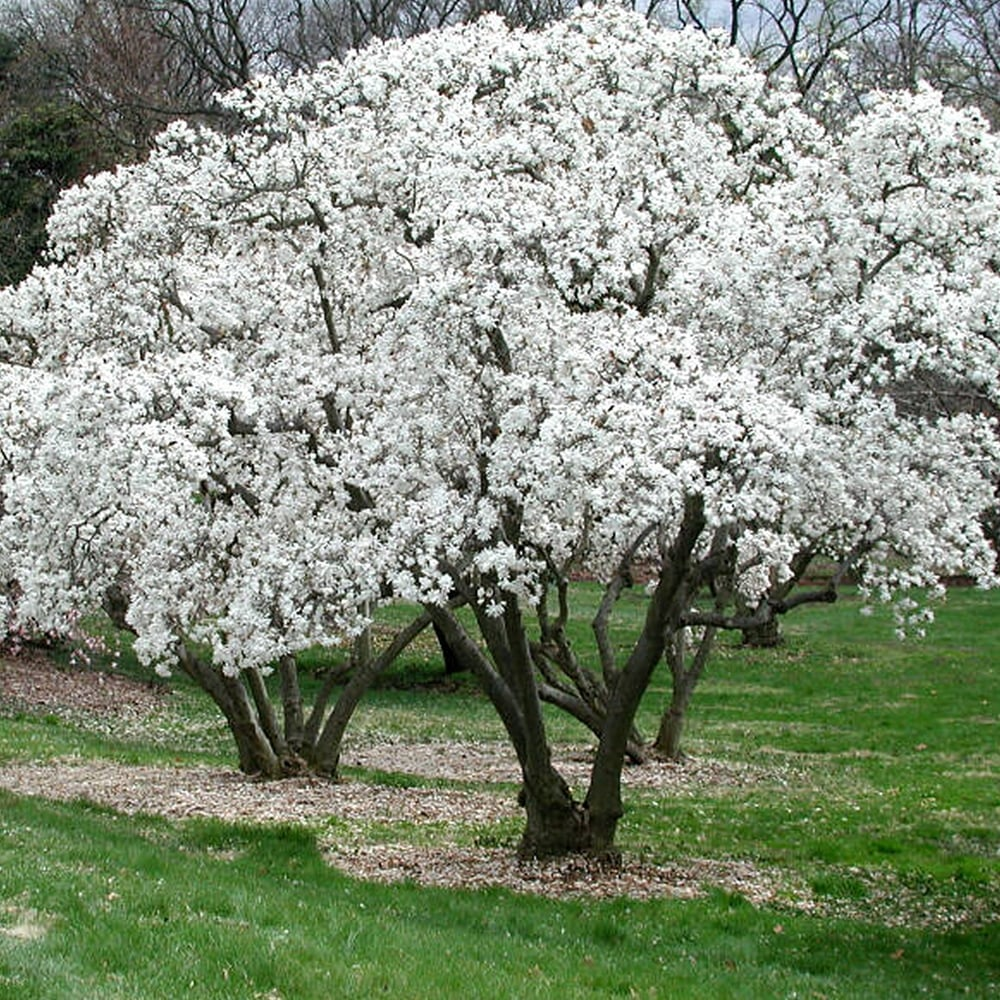 Magnolia stellata, Магнолия звездовидна
