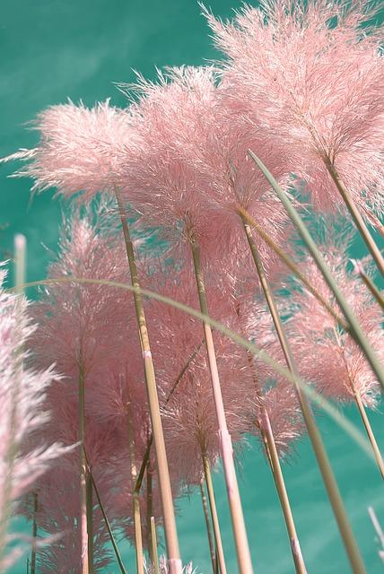 Cortaderia selloana 'Pink Feather' -Розова пампаска трева, Пампаска трева розово перо