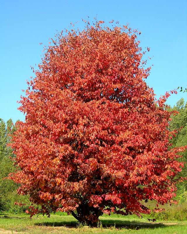 Parrotia persica, Желязно дърво