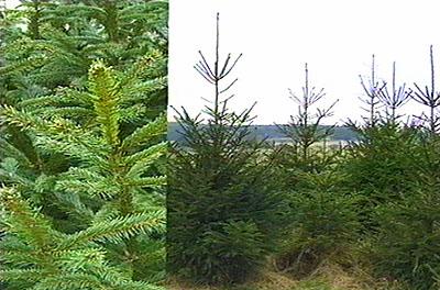 Picea abies, Обикновен смърч