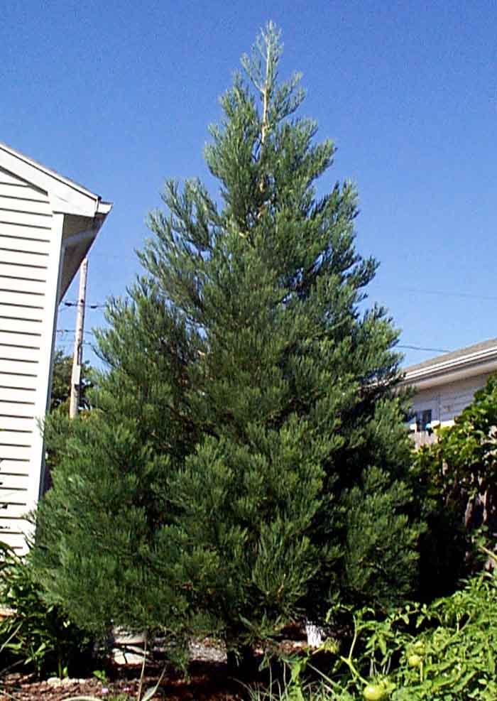 Sequoiadendron giganteum, Гигантска секвоя, Мамонтово дърво